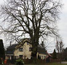Barnisław-pomnikowe drzewo przy ciekawym budynku