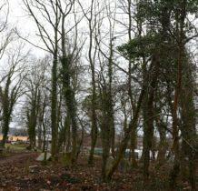 Siadło Górne- bluszcz wędruje po drzewach