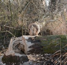 Warnołęka- bobrowa obróbka