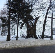 Żarki- wiekowa lipa Babka ma 500 lat