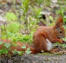 Turkowice-wiewiórka