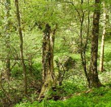 dziki las