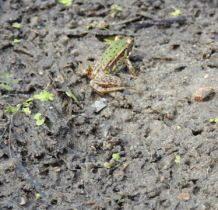 Glinno- żabka mała