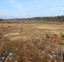 Tleń-las długo rośnie