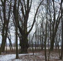 Siemkowo-w parku poniżej pałacu(szkoły)- 700-letni dab