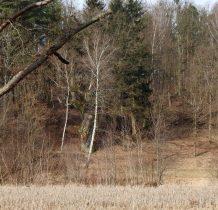 Tleń-dab ma obwód 625 cm