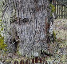 Woziwoda- zabytkowy dab ma 700cm obwodu