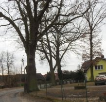 Brzeziny-pomnikowe dęby przy starej szkole