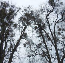 Jaszcz-okoliczne drzewa