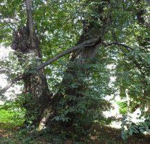 Nowe Sady-przy cerkwi olbrzymie drzewa