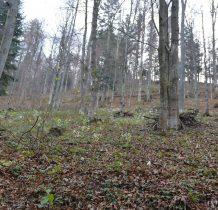 bukowym lasem
