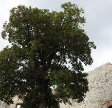 Klon jawor-pomnik przyrody