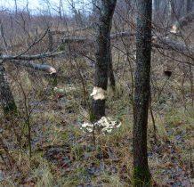 Dziwnów-cały lasek ze śladami bobrów