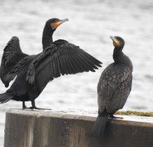 Diwnów-kormorany