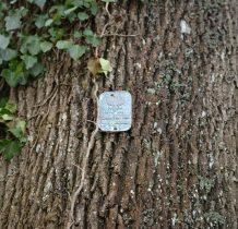 Dobropole-pomnik przyrody na cmentarzu-jesion wyniosły