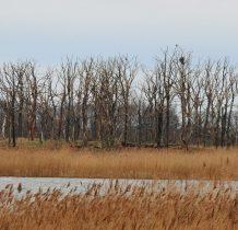 Połchowo-Gardzka Kępa-5 lat temu naliczono tutaj ok.2960 par kormorana