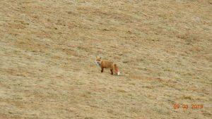 Tarnawka-w drodze do Wisłoczka podgladamy lisa