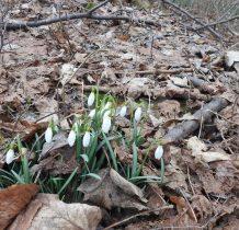 Wisłoczek-oznaki wiosny