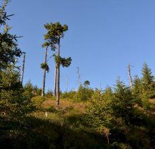 po lej stronie kikuty drzew