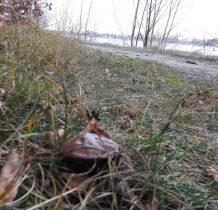 przy drodze maślak-chyba już ostatni grzyb tego roku