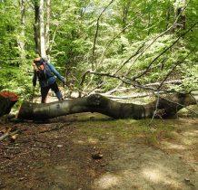 droga zagrodzona znów specjalnie zwalonymi drzewami-granica
