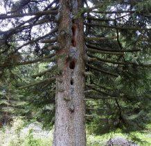 dziuplowe drzewo