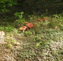 a w lesie spotykamy grzybiarzy-amatorów rydzów