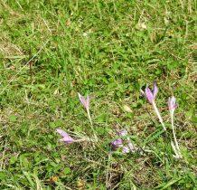 cała polana fioletowych piękności