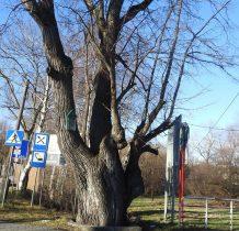 pomnikowe drzewo na skrzyżowaniu dróg