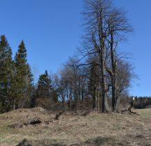 cerekwisko przy olbrzymich drzewach