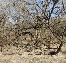 mijamy ciekawie rozrośnięte drzewo