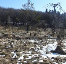 idąc dalej-po lewej stronie przy strumyku malutkie wierzby z bobrowymi śladami