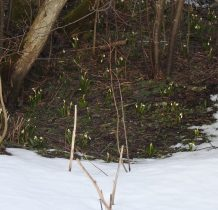 przebiśniegi zwiastują wiosnę